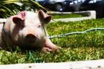 Ανοίγει ο δρόμος για μεταμόσχευση οργάνων ζώων σε ανθρώπους