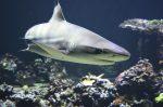 Το μυστικό του καρχαρία