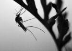 Τα πρώτα κρούσματα λοίμωξης από τον ιό του Δυτικού Νείλου